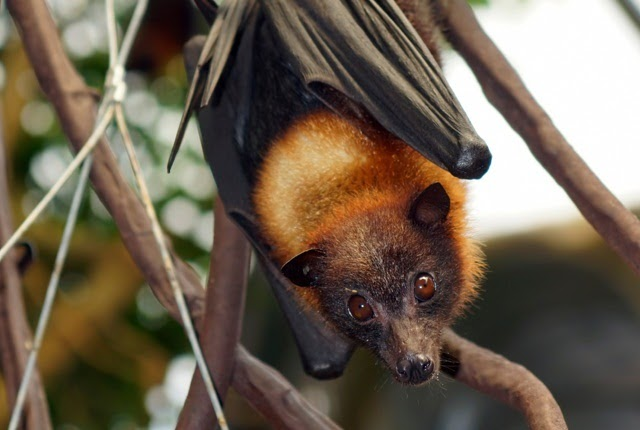 Philippine Fruit Bat